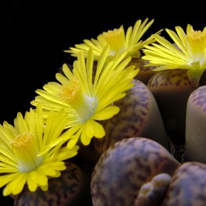 Lithops in fiore di Tonino