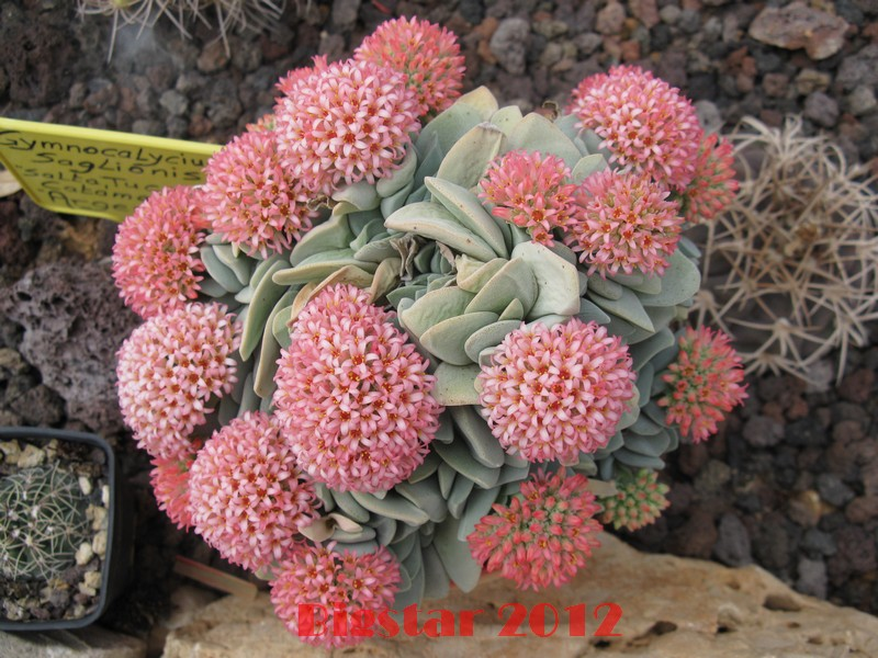 crassula cv  morgan u0026 39 s beauty