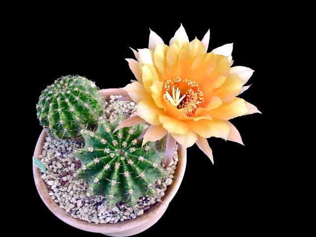 echinopsis cv. candel light