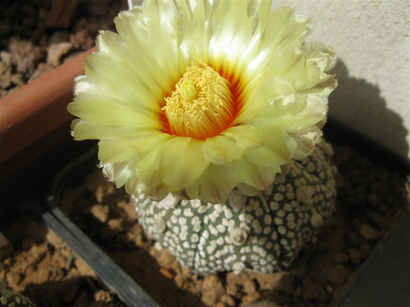 astrophytum asterias cv. miracle kabuto fluff-pattern