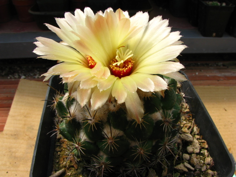 coryphantha scolymoides