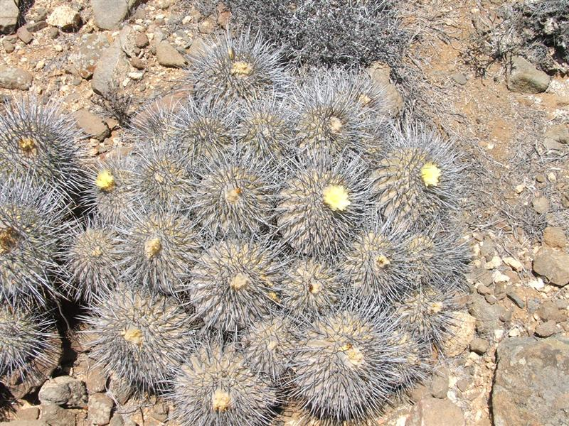 copiapoa dealbata v. carrizalensis