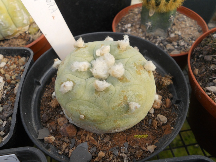 lophophora williamsii v. lutea