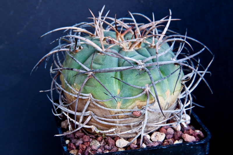 gymnocalycium spegazzinii v. major