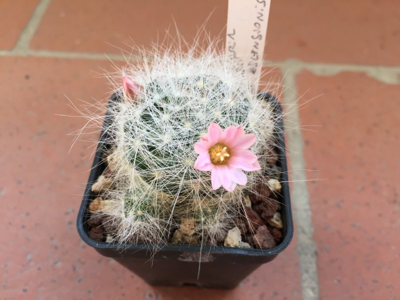 mammillaria glassii ssp. ascensionis