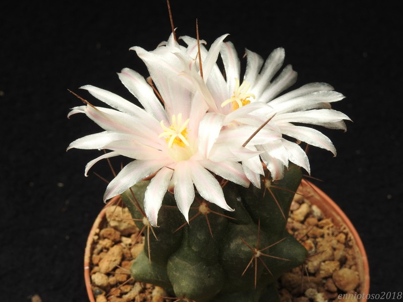 Thelocactus tulensis CH 356A