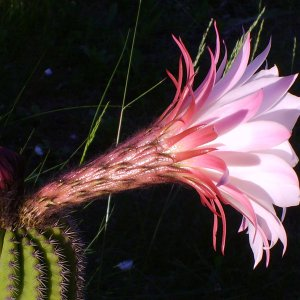 Fiore di Trichocereus di Antonietta
