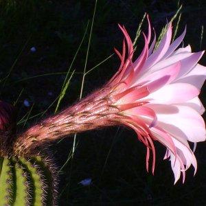 Fiore di Trichocereus di Antonietta