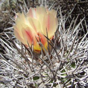 Fiore di Copiapoa pseudocoquimbana in habitat di Cactus