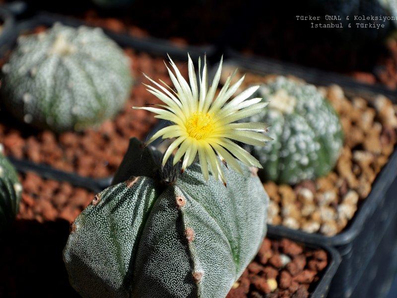 Astrophytum myriostigma f. quadricostatum
