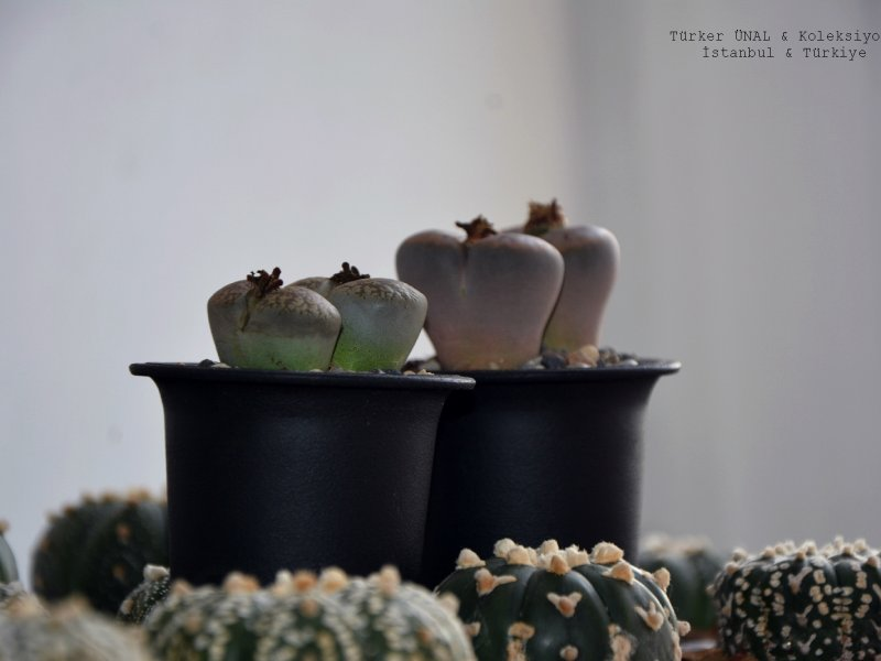 Astrophytum Asterias  & Lithops