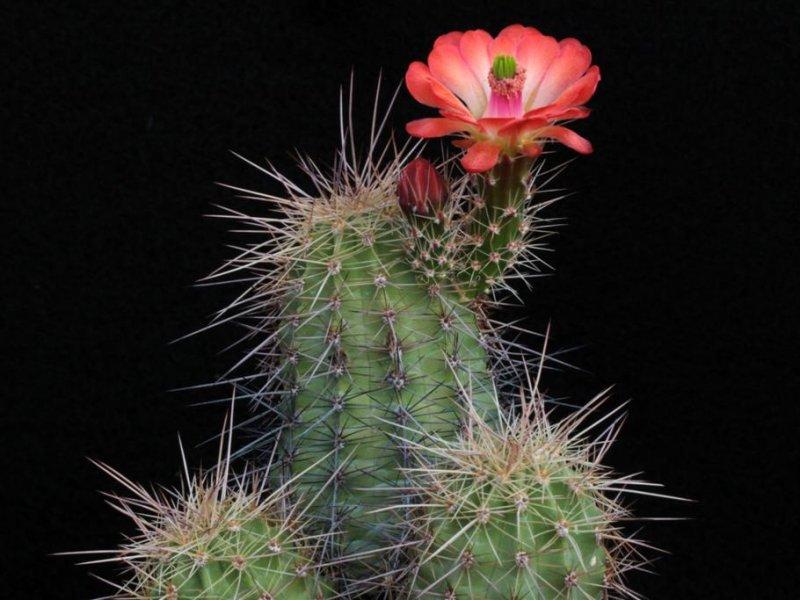 Echinocereus coccineus SB 850