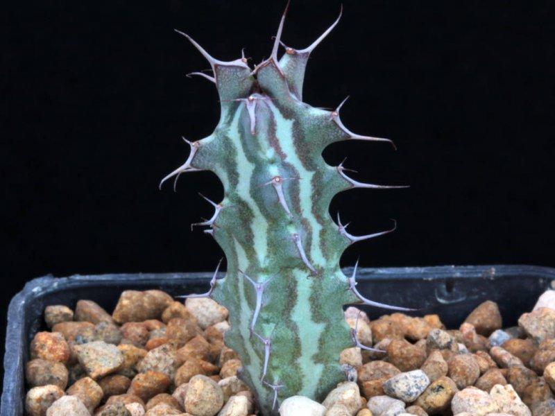 Euphorbia triaculeata