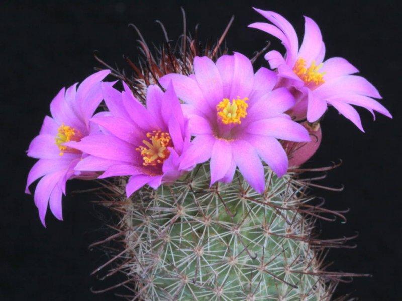 Mammillaria occidentalis