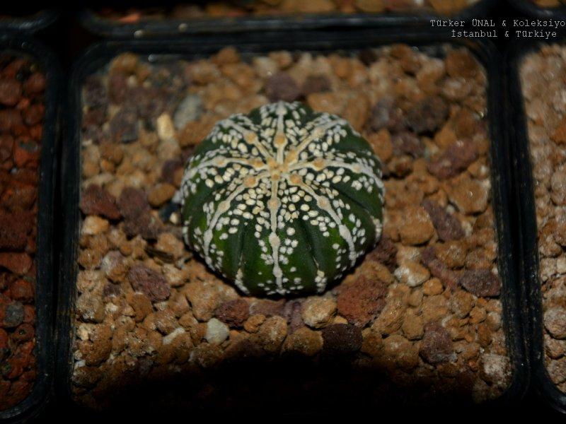Astrophytum asterias cv. Line-Type