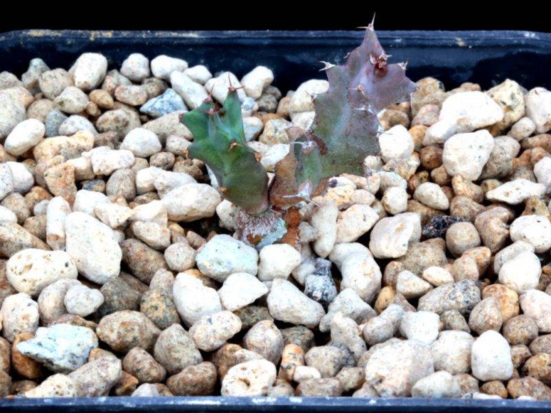 Euphorbia groenewaldii