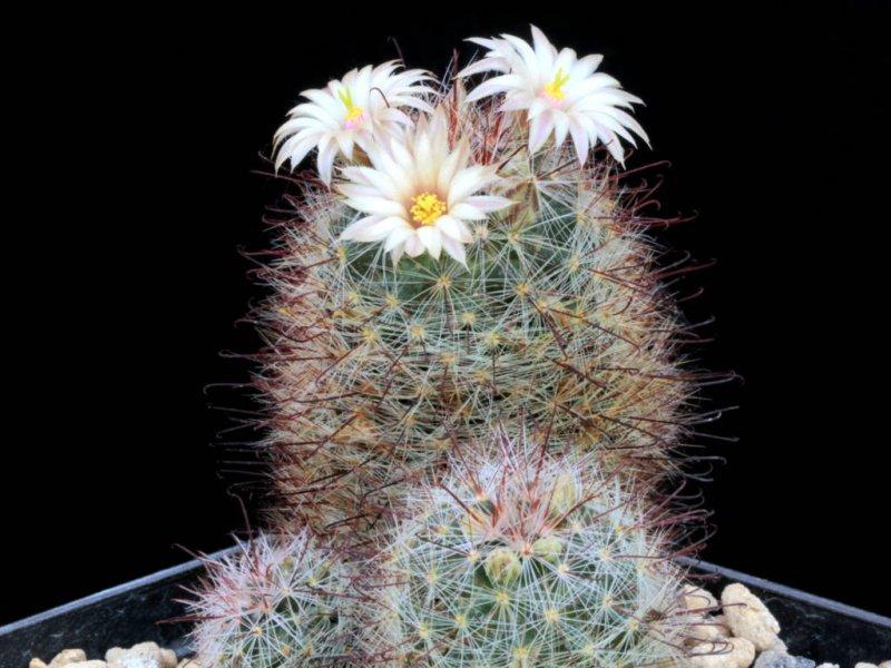 Mammillaria barbata