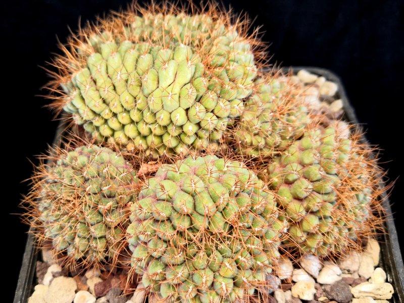 Sulcorebutia callichroma v. longispina HS78/Fi2
