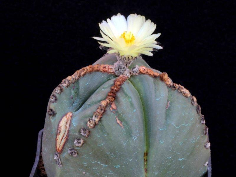 Astrophytum myriostigma f. tricostatum nudum