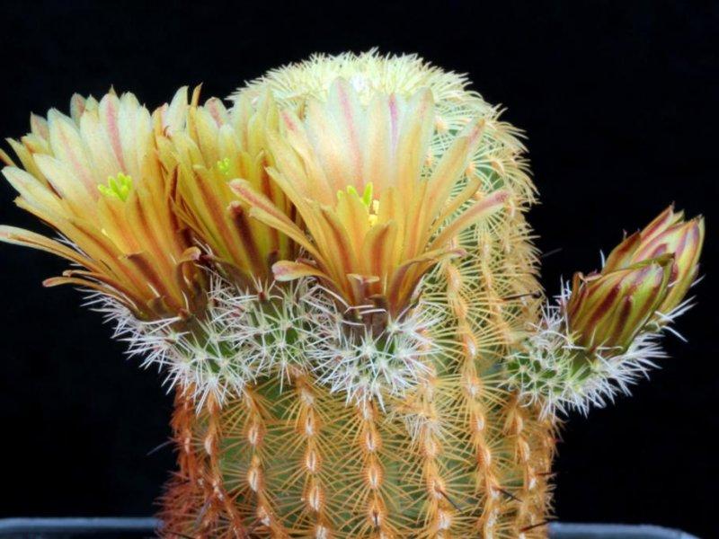 Echinocereus chloranthus ssp. cylindricus