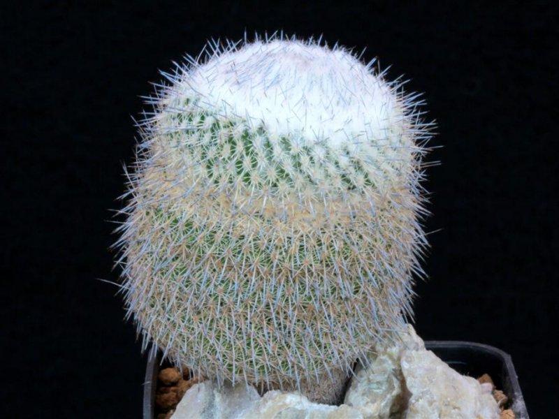 Epithelantha unguispina