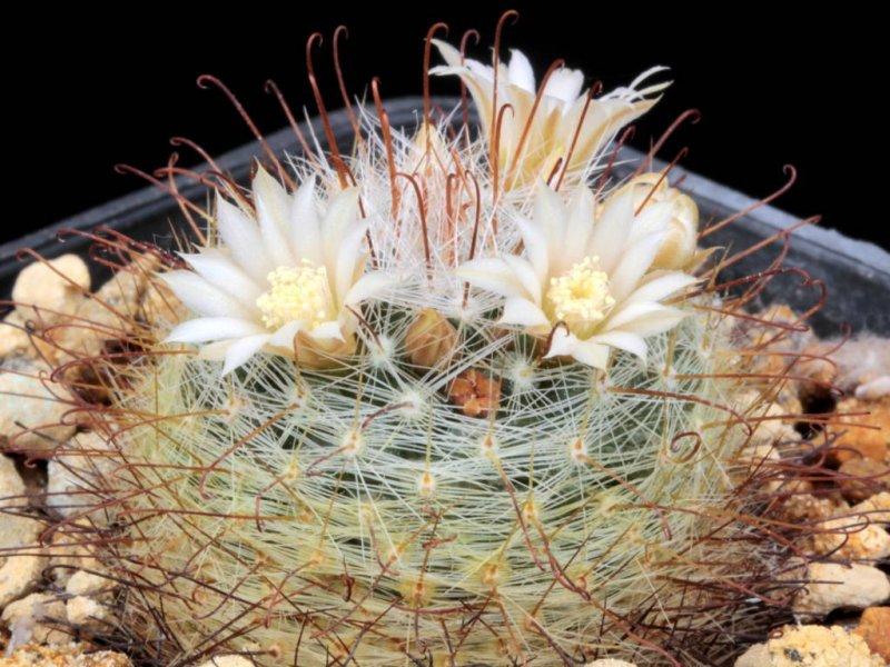 Mammillaria meridiorosei