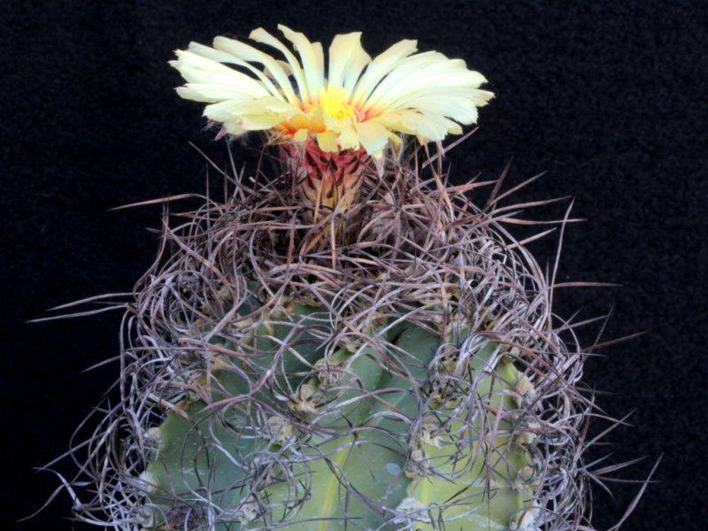 Astrophytum capricorne ssp. senile