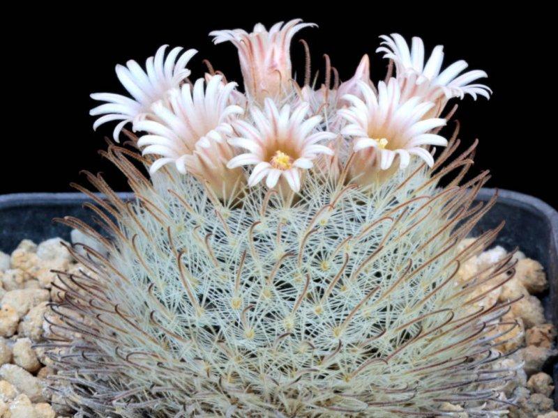 Mammillaria nazasensis