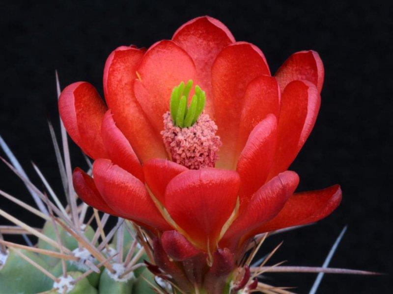 Echinocereus triglochidiatus DJF 1145