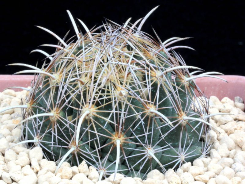 coryphantha obscura