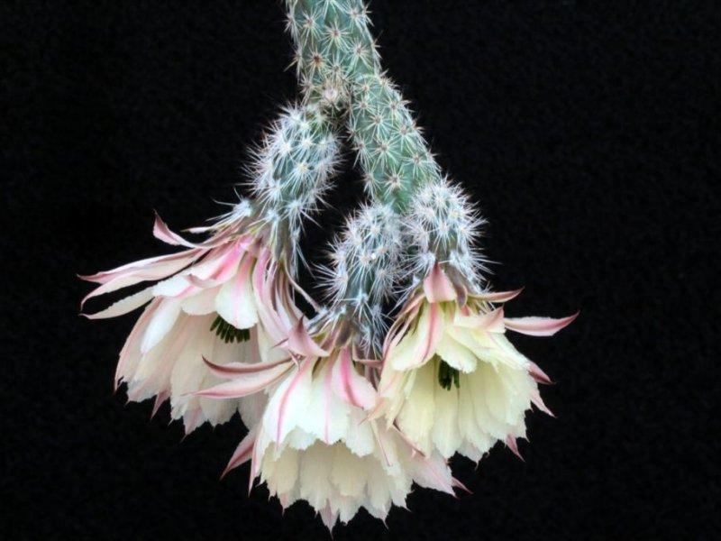 Echinocereus waldeisii