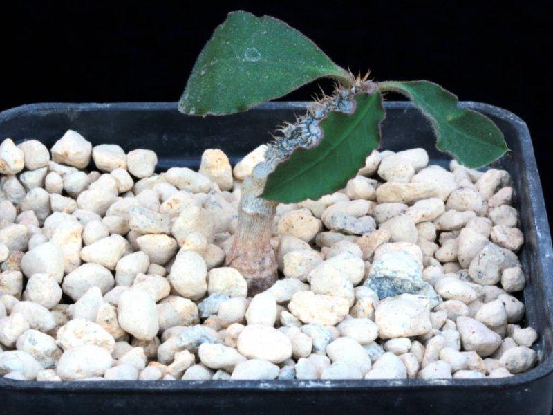 Euphorbia razafindratsirae