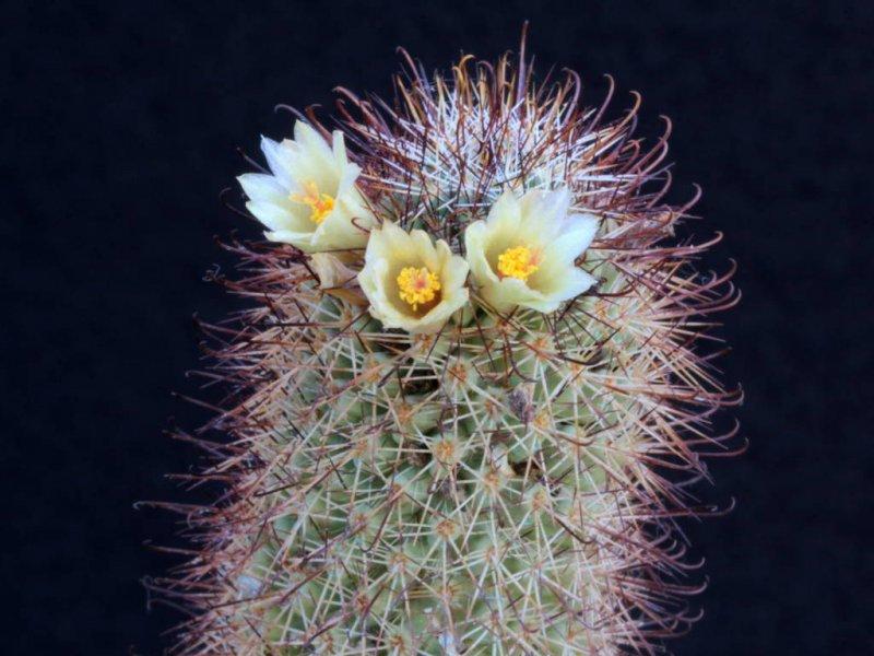 Mammillaria armillata Z 157