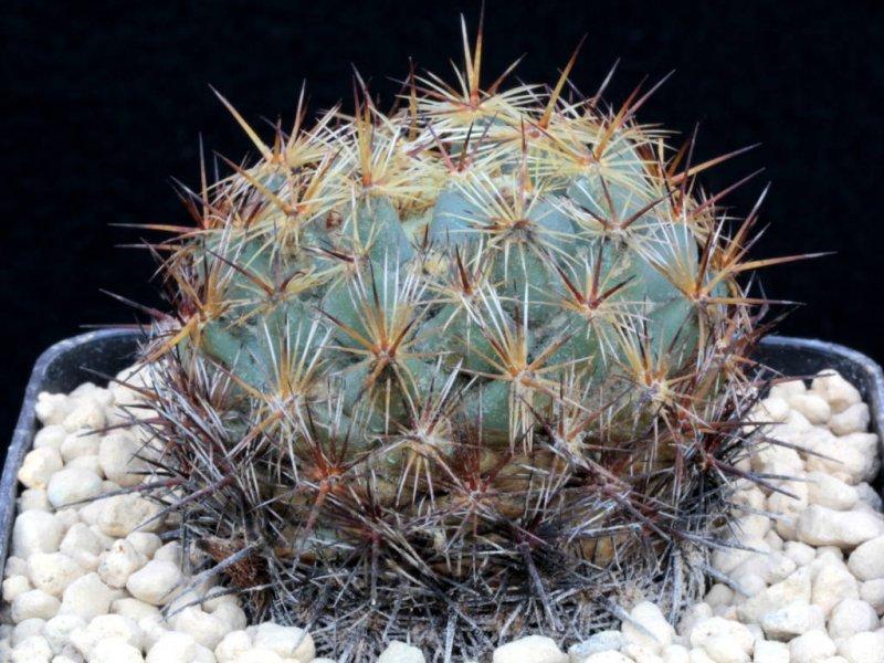 Coryphantha echinoidea PAN 164