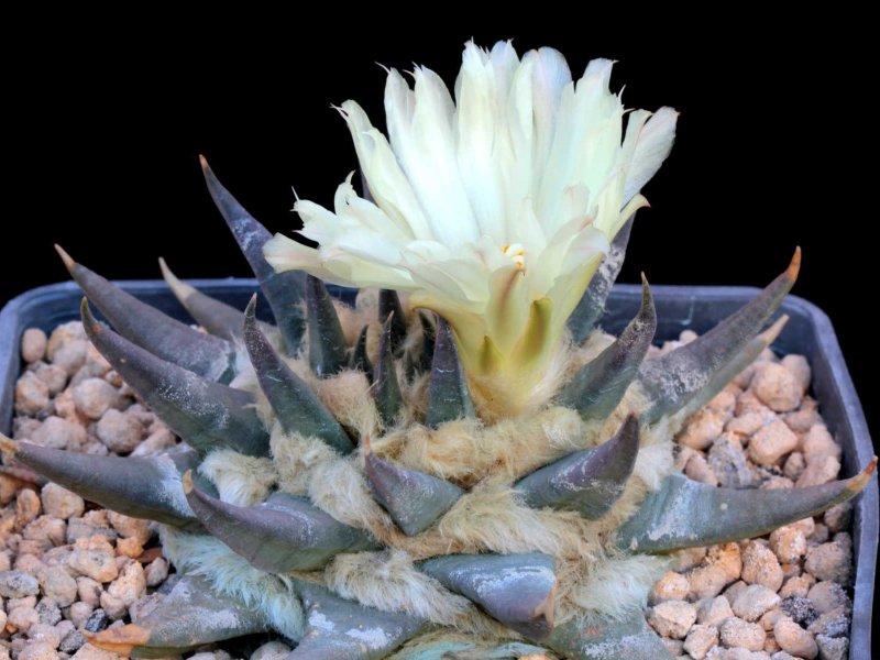 Ariocarpus retusus ssp. trigonus PAN 285