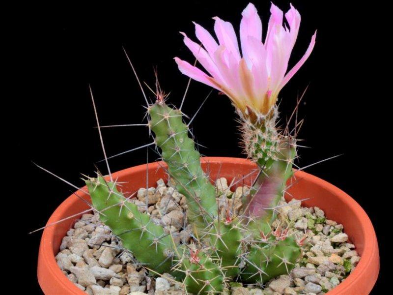 Echinocereus pentalophus ssp. procumbens