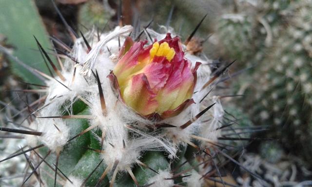 Copiapoa esmeraldana