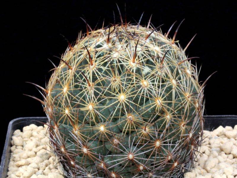 Coryphantha cornifera ORB 3.31