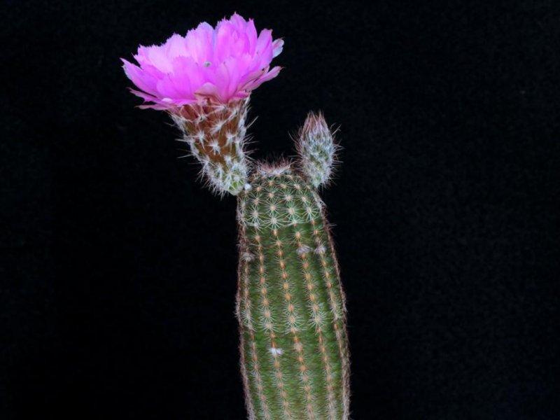 Echinocereus reichenbachii ssp. perbellus