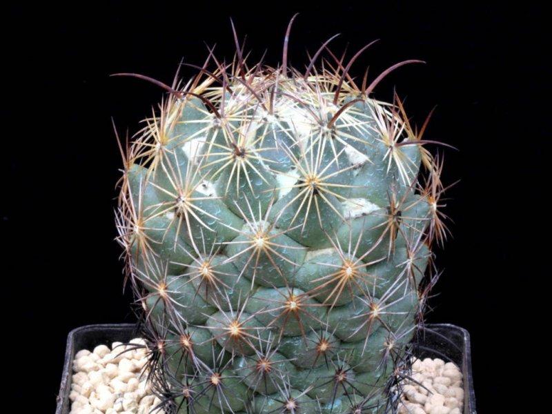 Coryphantha cornifera Z 186