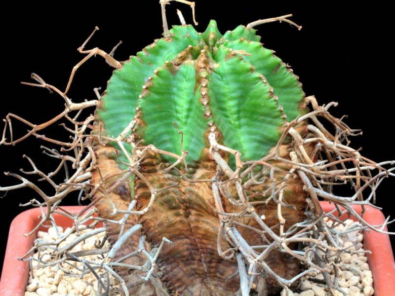 Euphorbia meloformis ssp. valida