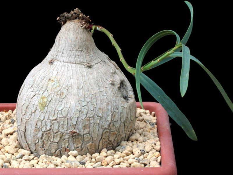 Euphorbia trichadenia