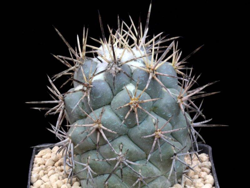 Coryphantha poselgeriana v. valida MV 516