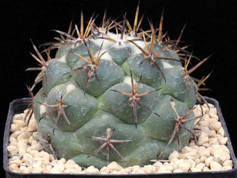 Coryphantha poselgeriana v. valida