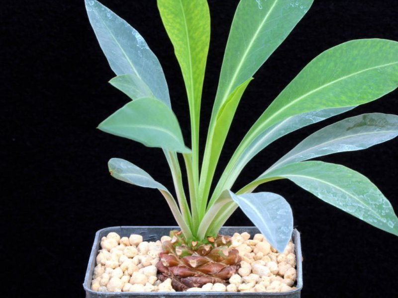 Euphorbia bupleurifolia