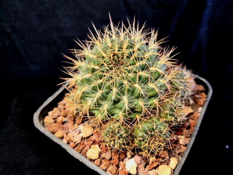 Sulcorebutia tiraquensis WR602