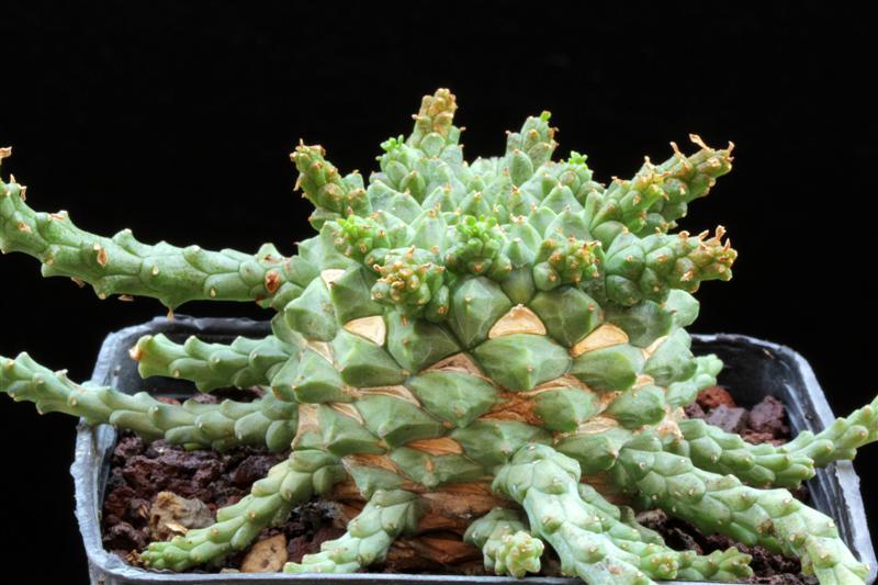 EUPHORBIA TUBIGLANS pianta succulenta
