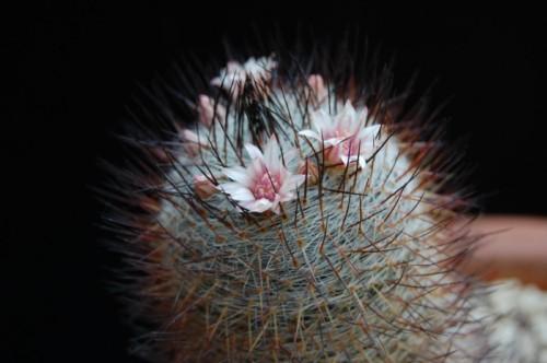 Mammillaria ritteriana