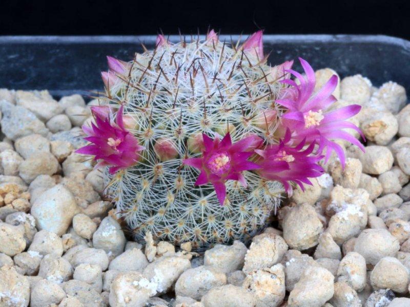 Mammillaria halbingeri v. rubiflora P 349