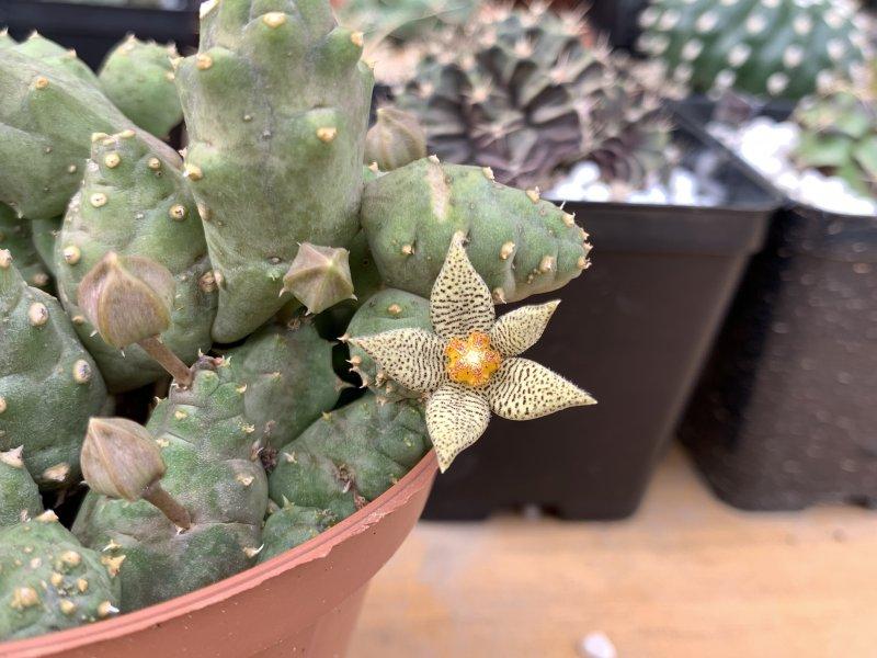 Piaranthus geminatus ssp. decorus